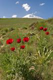 Red Poppies, White Peak