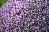 Astragalus Flowers