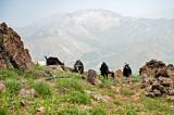 Goats At Mt. Damavand