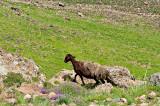 Sheep Above Camp 2