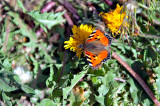 Butterfly Of Alborz Mountains