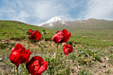 Poppies On The Way To Polour
