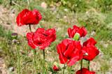 Mt. Damavand Poppies