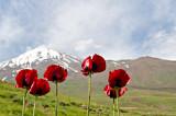 Red Poppies Of Mt. Damavand