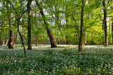 Fields Of Wild Garlic