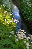Wild Garlic At The Stream
