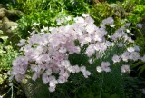Carnations M8
