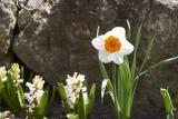 a daffodil @f8 a7