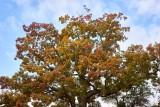 an oak tree @f5.6 a7