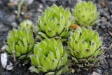 Sempervivum sp. KDN