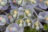 Euphorbia sp. KDN