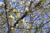 Sakura 2007-Apr-05 5D