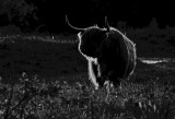 _Highland Cattle  in fading light