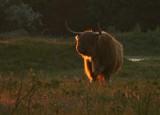 _Highland cattle