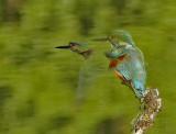 _ijsvogel-kingfisher-Alcedo atthis
