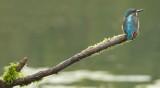 Kingfisher-IJsvogel-Alcedo atthis