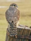 Smelleken-Falcon columbarius-Merlin
