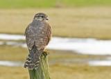 Smelleken-Falco columbarius-Merlin