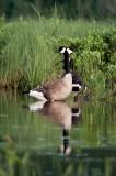 Alq June 2012 227 Duck.jpg