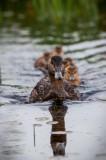 Alq June 2012 241 Duck.jpg