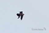 Peregrine with Little Auk