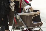 Shih Tzu inside a stroller
