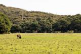 lone cow grazing