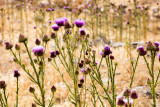 beautiful milk thistle flower is a common sight