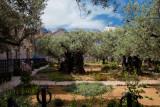 Olives Trees in Gethsemane