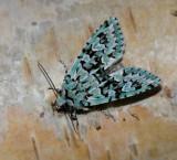 Swedish Noctuid Moths