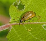 Subfamily Galerucinae