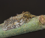 Ektandvinge, Great Prominent (Peridea anceps).jpg
