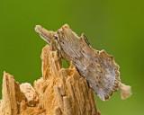 Pterostoma palpina.jpg