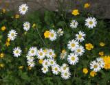 Asteraceae - SOLDA ITALY - STELVIO NATIONAL PARK (4).JPG