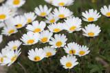 Asteraceae - STELVIO NATIONAL PARK ITALY (133).JPG