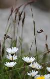 Asteraceae - STELVIO NATIONAL PARK ITALY (134).JPG