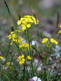 Brassicaceae - Erysimum species - ABRUZZO NATIONAL PARK ITALY (109).JPG