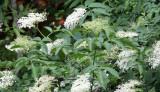 Caprifoliaceae - Sambucus racemosa - ABRUZZO NATIONAL PARK ITALY (80).JPG