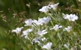 Caryophyllaceae - Cerastrium scaranii - ABRUZZO NATIONAL PARK ITALY (105).JPG