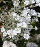 Caryophyllaceae - Cerastrium scaranii - ABRUZZO NATIONAL PARK ITALY (106).JPG