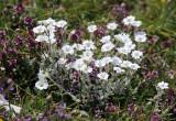 Caryophyllaceae - Cerastrium scaranii - ABRUZZO NATIONAL PARK ITALY (107).JPG
