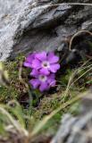 Caryophyllaceae - Lichnis species - STELVIO NATIONAL PARK ITALY (101).JPG