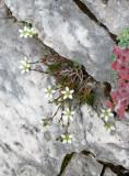 Caryophyllaceae - Stellaria species - ABRUZZO NATIONAL PARK ITALY (33).JPG