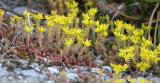 Craculaceae - Sedum species - STELVIO NATIONAL PARK ITALY (151).JPG