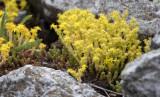 Craculaceae - Sedum species - STELVIO NATIONAL PARK ITALY (152).JPG