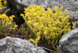 Craculaceae - Sedum species - STELVIO NATIONAL PARK ITALY (153).JPG