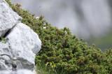 Cupressaceae - Juniperus species - ABRUZZO NATIONAL PARK ITALY (125).JPG