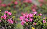 Ericaceae - Rhododendron - STELVIO NATIONAL PARK ITALY (131).JPG