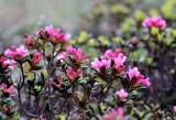 Ericaceae - Rhododendron ferrugineum - STELVIO NATIONAL PARK ITALY (87).JPG