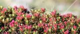 Ericaceae - Rhododendron ferrugineum - STELVIO NATIONAL PARK ITALY (88).JPG